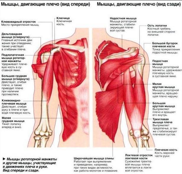 Мышцы плеч