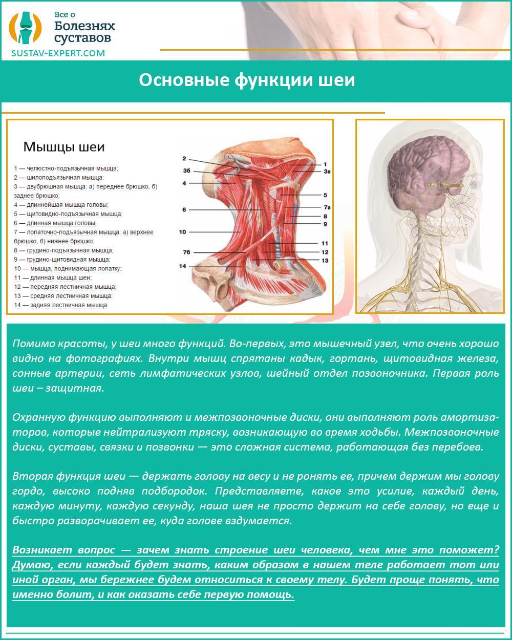 Основные функции шеи