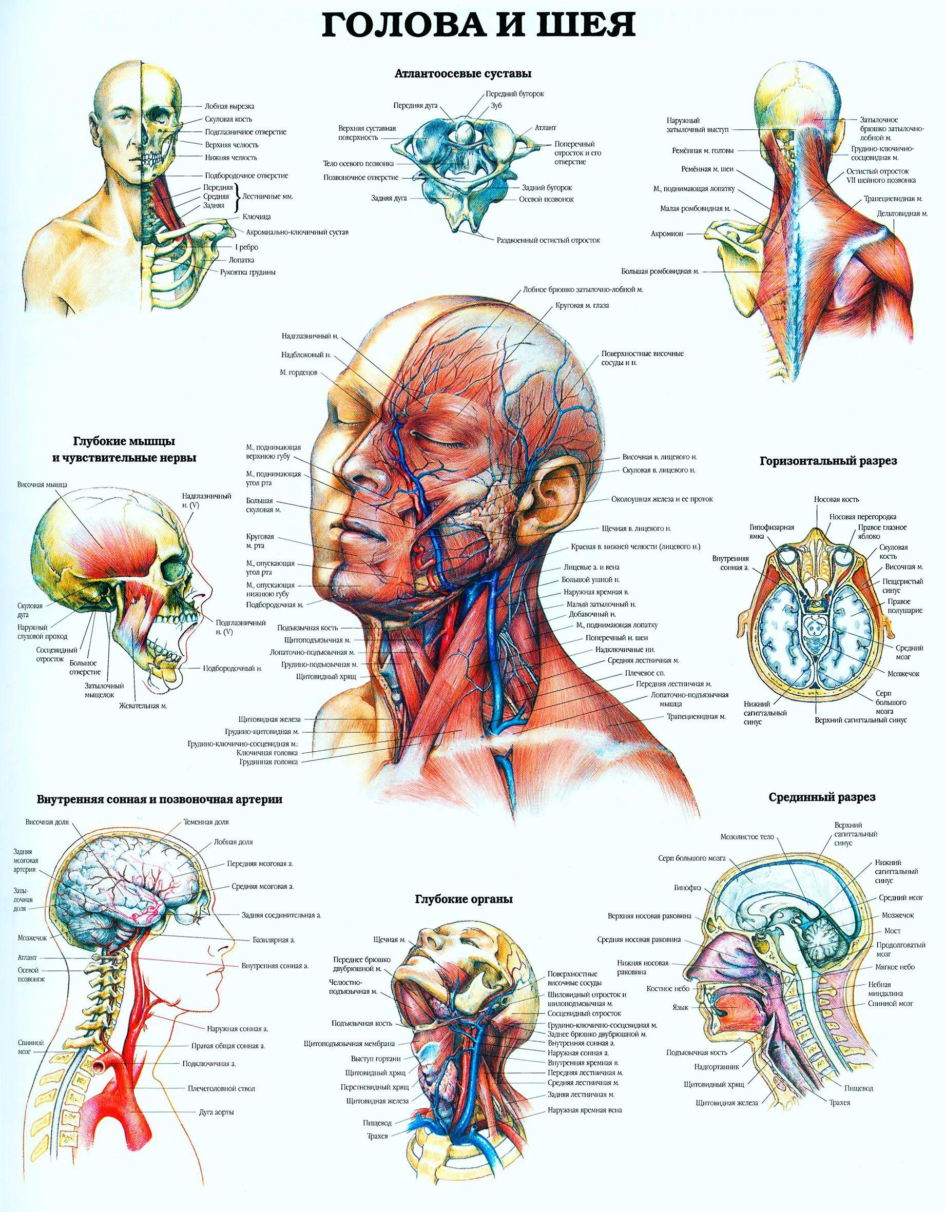 Строение головы и шеи человека