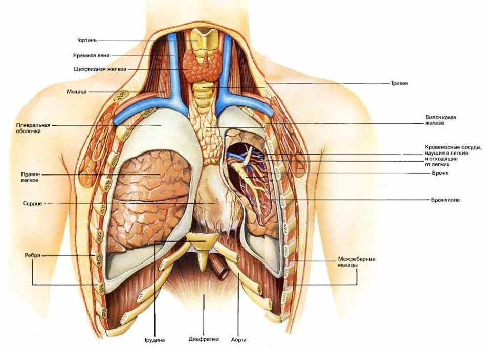Строение органов грудной клетки человека