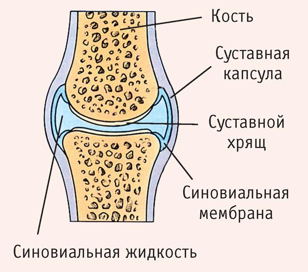 Суставная капсула коленного сустава