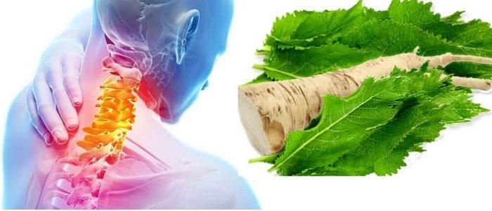 Лист хрена – очень известное средство в народной медицине, которое применяется в лечении остеохондроза, а также и при заболеваниях опорно-двигательного аппарата