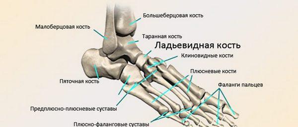 Расположение ладьевидной и клиновидных костей