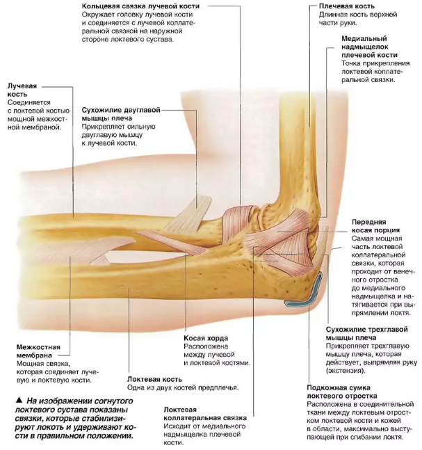 Связки локтевого сустава