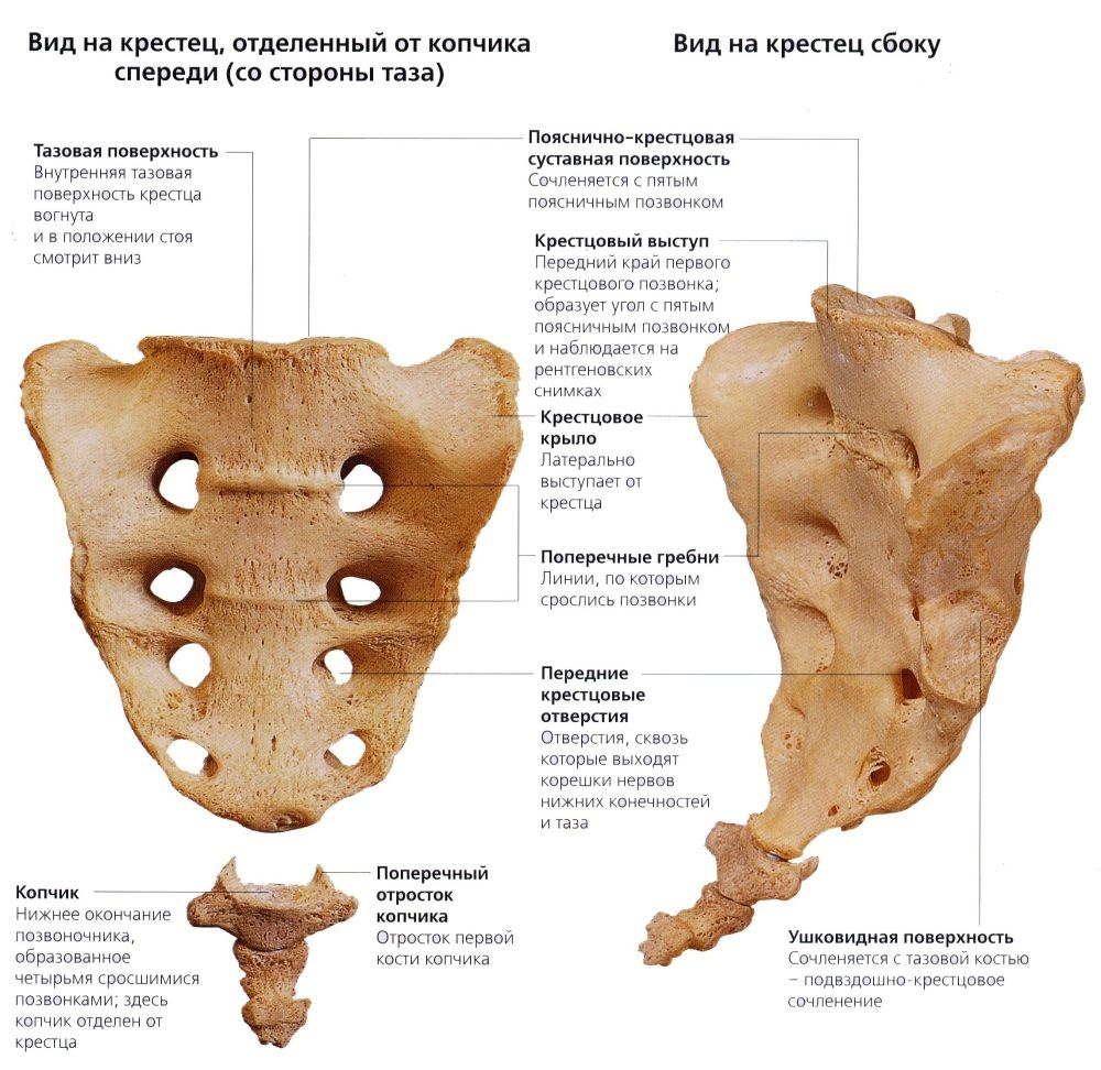 Крестец и копчик: анатомия