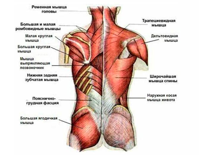 Мышечный корсет человека