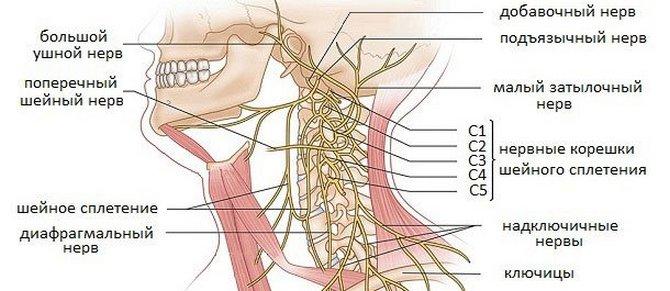 Нервы в шейном отделе