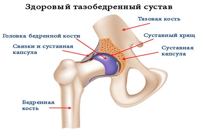 Здоровый тазобедренный сустав