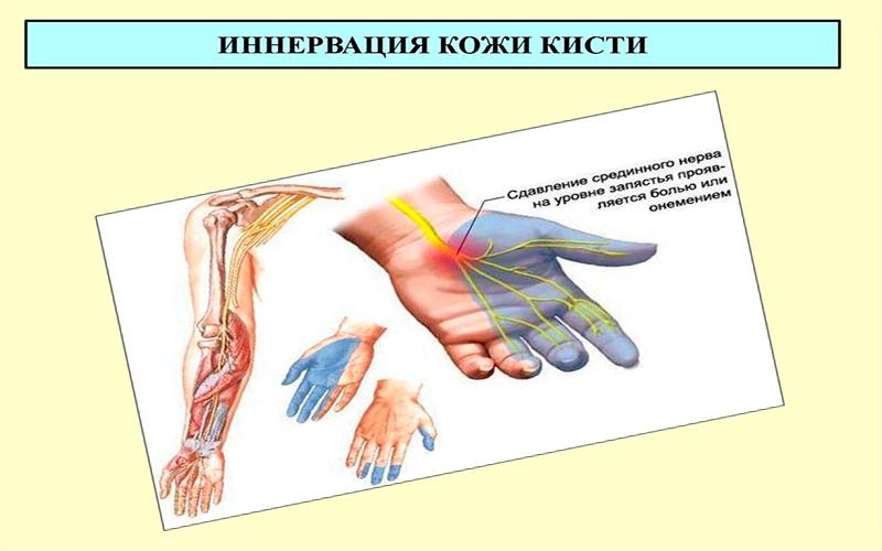Иннервация кожи кисти