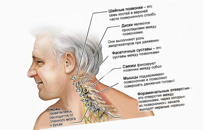 Анатомия шейного отдела